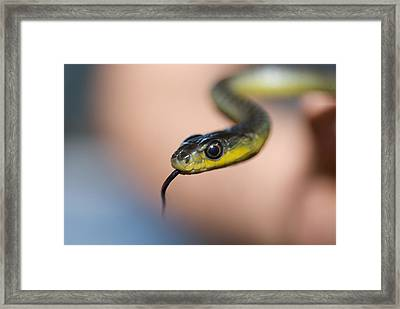 A Green Tree Snake Being Held By Human Framed Print