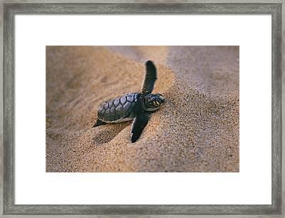 A Green Turtle Hatchling Struggling Framed Print
