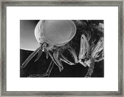 A Greenhead Fly Tabanus Nigrovittatus Framed Print by Darlyne A. Murawski