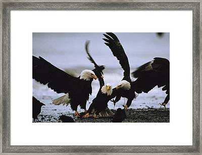 A Group Of American Bald Eagles Fight Framed Print by Klaus Nigge