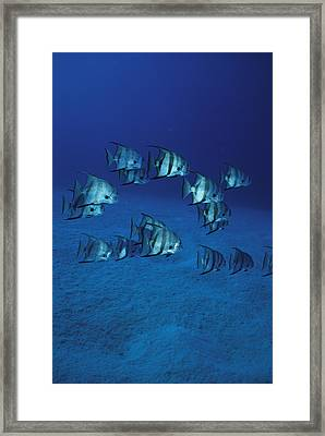 A Group Of Atlantic Spadefish Framed Print by Heather Perry