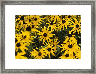 A Group Of Black Eyed Framed Print
