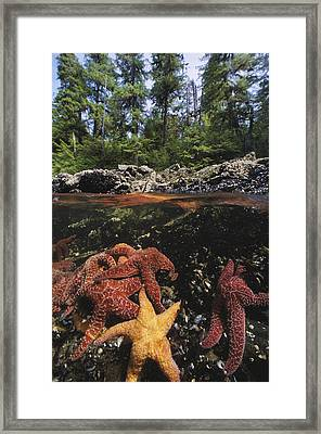 A Group Of Ochre Sea Stars Clustered Framed Print by Bill Curtsinger