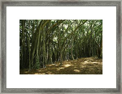 A Grove Of Banyan Trees Send Airborn Framed Print by Paul Damien