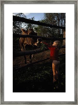 A Half-naked Toddler Feeds A Cow Grass Framed Print by J. Bruce Baumann