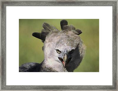 A Harpy Eagle Portrait Framed Print by Ed George