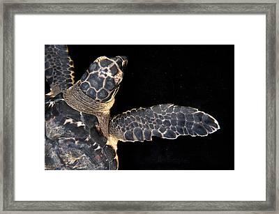 A Hawksbill Turtle, Eretmochelys Framed Print