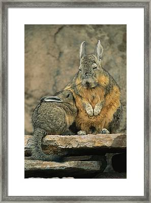A Herbivorous Viscacha Nurses Her Baby Framed Print by Joel Sartore