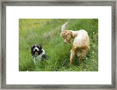 A Herd Dog And A Goat Next To Each Framed Print by Stephen Sharnoff