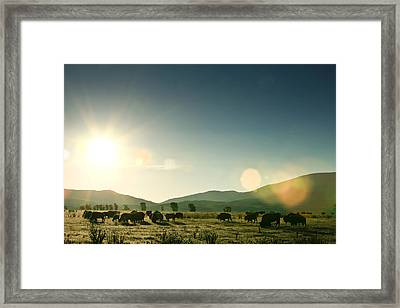 A Herd Of Bison Graze A The Sun Rises Framed Print by Drew Rush