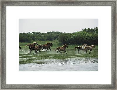 A Herd Of Chincoteague Ponies Thunder Framed Print