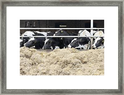 A Herd Of Cows Eating Hay From Feeding Framed Print by Corepics