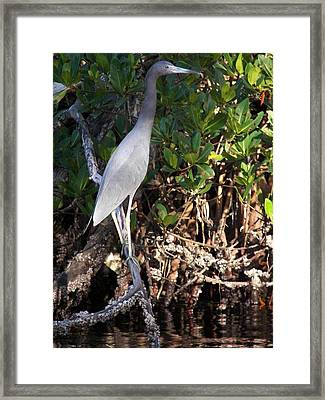 A Heron Type Bird In The Mangroves Framed Print by Judy Via-Wolff