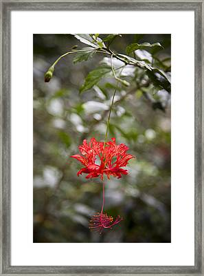 A Hibiscus Schizopetalus Flowers Framed Print by Taylor S. Kennedy