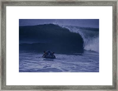 A Hippopotamus Surfs The Waves Framed Print by Michael Nichols