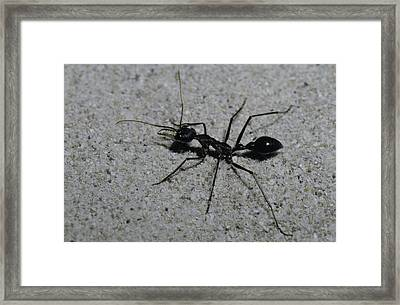A Huge Bull Dog Ant Marches Framed Print by Jason Edwards