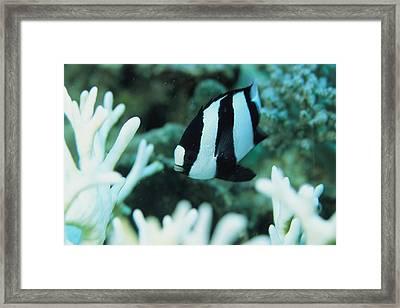 A Humbug Dascyllus Fish Swims Framed Print