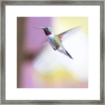 A Humming Bird In The Rocky Mountains Framed Print by Ellie Teramoto