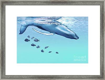A Humpback Whale Dives Into The Blue Framed Print by Corey Ford