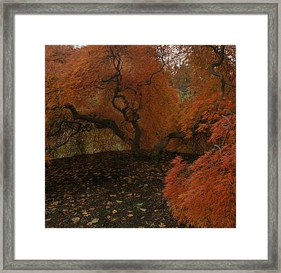 A Japanese Maple In Fall Foliage Framed Print by Melissa Farlow