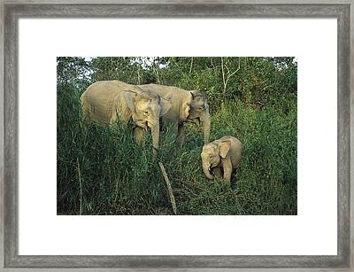 A Juvenile Asian Elephant With Two Framed Print by Tim Laman