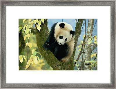 A Juvenile Giant Panda Framed Print by Lu Zhi