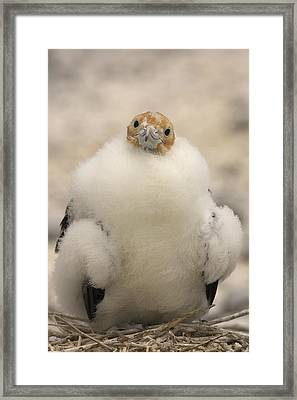 A Juvenile Great Frigatebird, Fregata Framed Print by Ralph Lee Hopkins