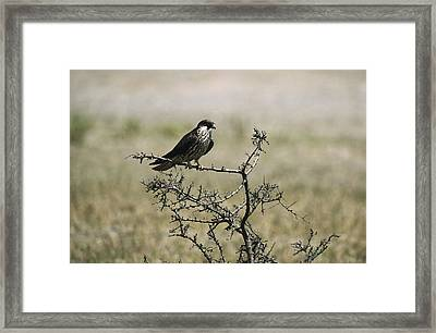 A Juvenile Hobby Perches On A Branch Framed Print by Klaus Nigge