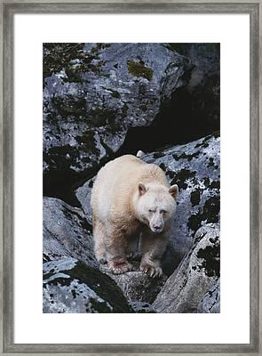 A Kermodes, Or Spirit Bear Ursus Framed Print by Tom Murphy