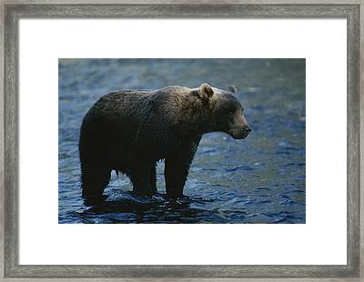 A Kodiak Brown Bear Hunts For Fish Framed Print by George F. Mobley