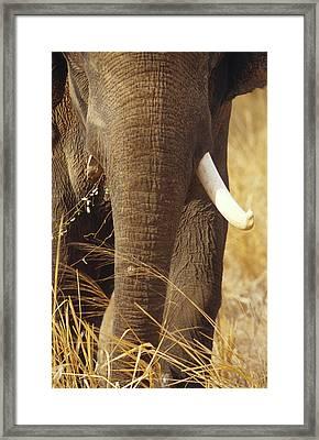 A Large Endangered Asian Elephant Bull Framed Print
