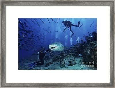 A Large Lemon Shark Gulps Down A Large Framed Print