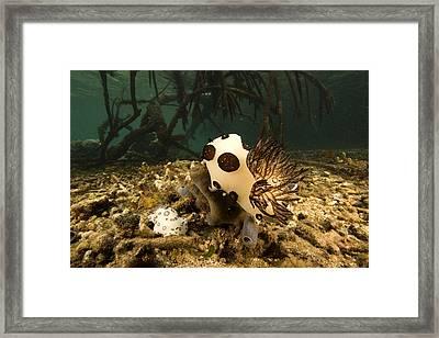 A Large Nudibranch Feeds On A Sponge Framed Print