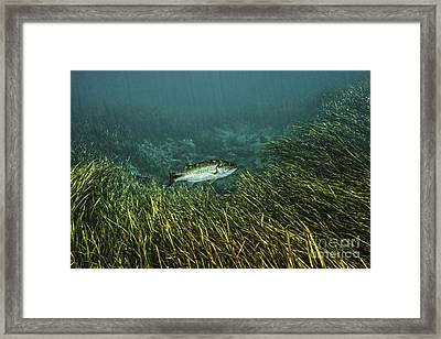 A Largemouth Bass Swims Amonst Framed Print by Terry Moore