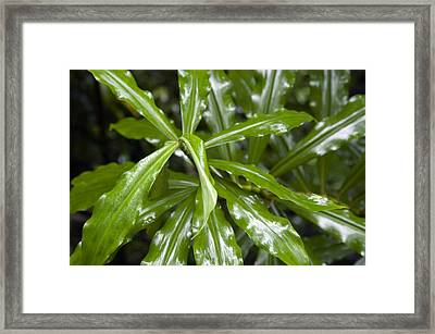 A Leafy Green Plant In Honolulu, Hawaii Framed Print by Stacy Gold