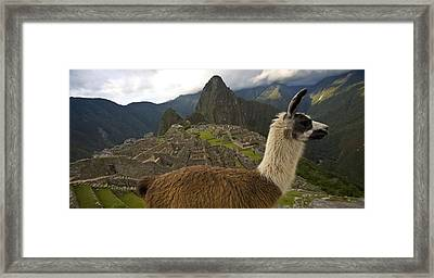 A Llama And Reconstructed Stone Framed Print by Michael Melford
