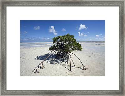 A Lone Mangrove Tree On A Sand Spit Framed Print by Scott S. Warren