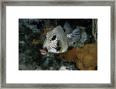 A Lone Smooth Trunkfish Lactophrys Framed Print by Wolcott Henry