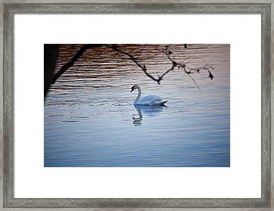 A Lonely Swans Late Afternoon Framed Print by Karol Livote