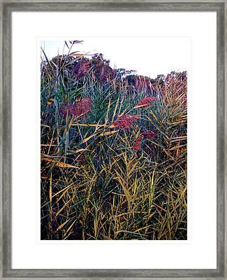 A Long Island Saltwater Grass In Bloom Framed Print