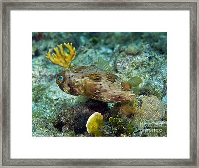 A Long-spined Porcupinefish, Key Largo Framed Print by Terry Moore