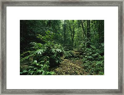 A Lush Woodland View In Papua New Framed Print