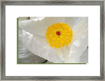 A Macro Of A White Mexican Poppy Flower Framed Print by Jennifer Holcombe