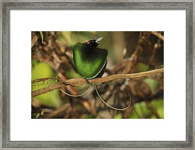 A Magnificent Bird Of Paradise Male Framed Print by Tim Laman