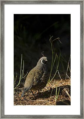 A Male California Quail Stands Framed Print by Taylor S. Kennedy