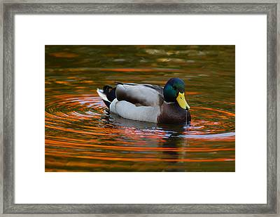 A Male Mallard Duck Drinking.  Fall Framed Print by Darlyne A. Murawski