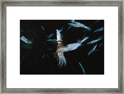 A Male Opalescent Inshore Squid Wraps Framed Print by Brian J. Skerry