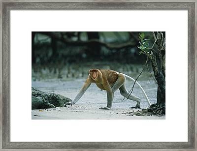 A Male Proboscis Monkey Crosses Framed Print