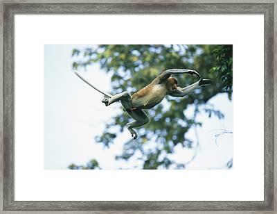 A Male Proboscis Monkey Leaps From Tree Framed Print