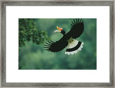 A Male Rhinoceros Hornbill Delivers Framed Print by Tim Laman
